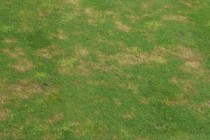 The fungicides that can treat dollar spot and fusarium
