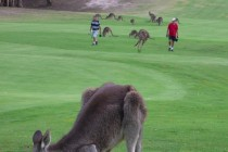Most golf clubs in Australia are in financial trouble