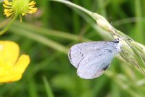 Endangered butterfly species now growing thanks to golf greenkeepers