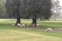 Sheep are taking over golf courses due to the lack of golfers