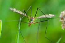 Pesticide ban has resulted in 'golf courses churned up by crane fly larvae'